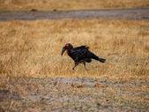 Ground hornbill — Stock Photo