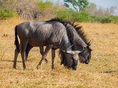 Blue wildebeest couple (gnu) — Stock Photo