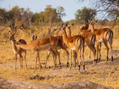 Impala herd — Stock Photo