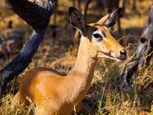 Young female impala — Stock Photo