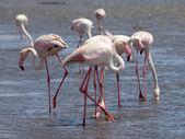 Pink flamingos in Walvis Bay — Stock Photo