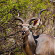Stock Photo: Eating kudu antelope