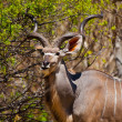 Eating kudu antelope — Stock Photo