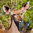 Stock Photo: Female kudu antelope