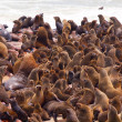 Brown Fur Seal colony (Arctocephalus pusillus) — Stock Photo