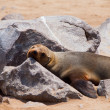 Brown Fur Seal (Arctocephalus pusillus) — Stock Photo #37908943