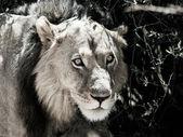 Lion in gras — Stockfoto