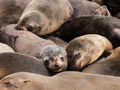 Brown Fur Seals (Arctocephalus pusillus) — Stock Photo