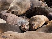 Brown Fur Seals (Arctocephalus pusillus) — Foto de Stock