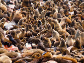 Brown Fur Seal colony (Arctocephalus pusillus) — Foto de Stock