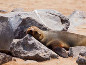 Brown Fur Seal (Arctocephalus pusillus) — Stock Photo