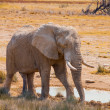 Thirsty elephant — Stock Photo #38193039