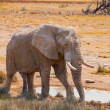 Stock Photo: Thirsty elephant