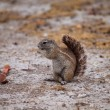 Stock Photo: Cape ground squirrel