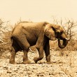 Stock Photo: Africelephant (Loxodonta)
