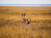 Impala — Foto de Stock