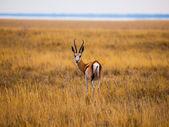 Impala — Stok fotoğraf