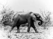 Elefante africano in bianco e nero (loxodonta) — Foto Stock