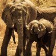 Elephants at water hole — Stock Photo #39768411