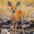 Stock Photo: Kirk's dik-dik (Madoqukirkii)