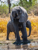 Elephants at water hole — Stok fotoğraf