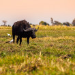 Big black buffalo — Stock Photo