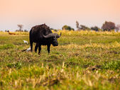 Big black buffalo — Foto Stock