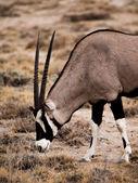 Oryx antelope — Stock Photo