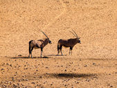 Two oryx antelopes — Foto Stock
