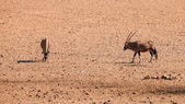 Two oryx antelopes — 图库照片