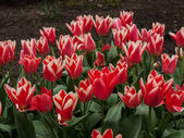 Red tulips — Stockfoto