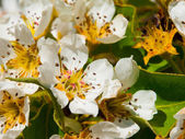 Cherry tree blooming — Stock Photo