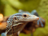 Blue Tree Monitor Lizard — Stock Photo