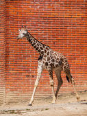 Young girafe in the zoo — Stock Photo