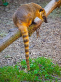 Coati sitting on the branch — Stock Photo