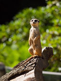 Meerkat sitting and watching around — Stock Photo