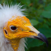 Yellow face of egyptian vulture in detail — Stock Photo