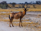 Red hertbeest in the savannah — Stock Photo