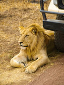 Lion at the car — Stock Photo