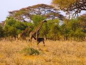 Familia de jirafa — Foto de Stock