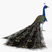 Peacock profil — Stockfoto
