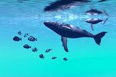 горбатые киты — Стоковое фото