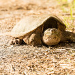 Common snapping turtle — 图库照片