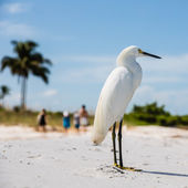 Snowy Egret on Florida Beach — Stock Photo
