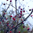 Briar Berry — Foto de Stock