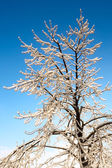Tree covered with Ice — Stock Photo
