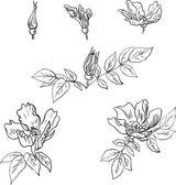 Zestaw liniowej rysunek kwiatów z sweet briar — Wektor stockowy