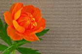 Flower of Asian Globeflower — Stock Photo