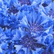 Close up of beautiful blue flower of cornflower — Stock Photo