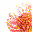 Flower of Leucospermum — Stock Photo
